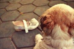 Der Hund, der Schuhe betrachtet Stockbild
