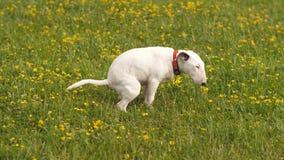 Der Hund, der ein Heck auf dem Gras macht stock footage