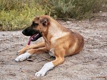 Der Hund einer braunen Farbe sitzt auf der Erde Lizenzfreies Stockbild
