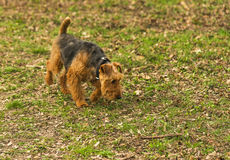 Der Hund geht auf die Spur Lizenzfreie Stockfotos