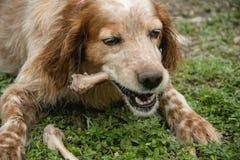 Der Hund genießt den Knochen stockfotografie