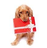 Der Hund hält ein Geschenk an Stockfotografie