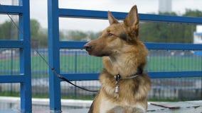 Der Hund im Dorf sitzt gebunden an einer Kette Gebundener Hund sitzt am Zaun Hund, der auf seinen Meister wartet Stockfotografie