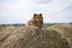 Der Hund im Hayloft Lizenzfreie Stockfotos