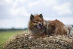Der Hund im Hayloft Lizenzfreie Stockbilder