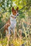 Der Hund im Schatten des Grases Basenji Lizenzfreie Stockfotografie