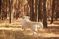 Der Hund ist ein Labrador im Waldfreundlichen Hund Stockfotos