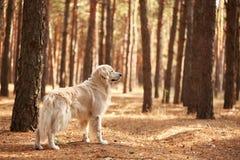 Der Hund ist ein Labrador im Waldfreundlichen Hund Stockbilder