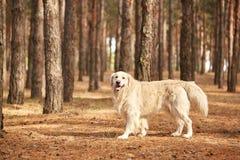Der Hund ist ein Labrador im Waldfreundlichen Hund Lizenzfreies Stockfoto