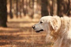 Der Hund ist ein Labrador im Waldfreundlichen Hund Lizenzfreie Stockfotografie