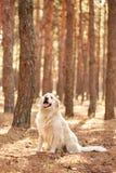 Der Hund ist ein Labrador im Waldfreundlichen Hund Stockfotografie