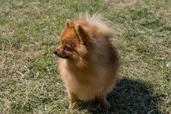 Der Hund ist gelb, in voller Länge Deutsches unbedeutendespomeranian lizenzfreie stockfotografie
