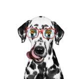 Der Hund ist hungrig und das Lebensmittel, der in seinen Gläsern reflektiert wird Stockbilder