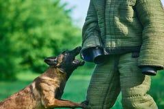 Der Hund ist im Begriff, den Figurant zu beißen Lizenzfreies Stockfoto