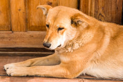 Der Hund ist trauriges Lügen auf einem Holz Stockbilder