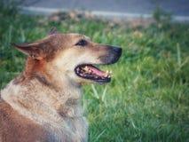 Der Hund liegt auf grünem Gras stockbilder