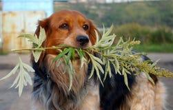 Der Hund mit Zweigwermut. Stockfotos