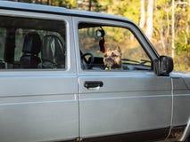 Der Hund schaut aus dem Auto heraus stockbild
