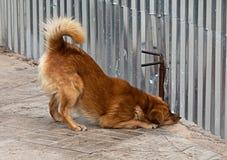 Der Hund schaut oben unter einem Zaun Stockfoto