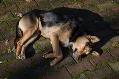 Der Hund schläft auf einer Seite des Bodens Der Hund schläft auf einem Weißzementboden outdoor Lizenzfreies Stockfoto