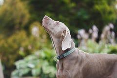 Der Hund schnüffelt die Luft lizenzfreie stockbilder