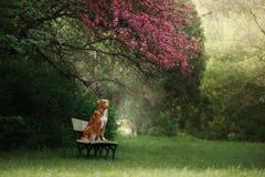 Der Hund sitzt auf einer Bank im Park nahe dem Rosenholz stockfotos