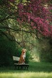 Der Hund sitzt auf einer Bank im Park nahe dem Rosenholz lizenzfreies stockbild
