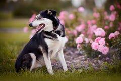 Der Hund sitzt nahe einem rosebush. Stockfoto