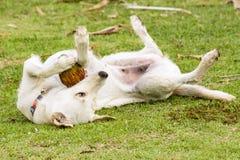 Der Hund spielt mit der Kokosnuss, dass es Spaß ist Stockbild