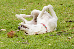 Der Hund spielt mit der Kokosnuss, dass es Spaß ist Stockfoto