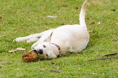 Der Hund spielt mit der Kokosnuss, dass es Spaß ist Stockfotografie