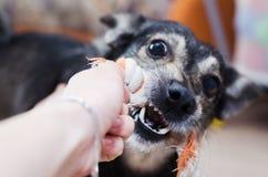 Der Hund spielt, zieht und zerfrisst das Seil lizenzfreie stockbilder