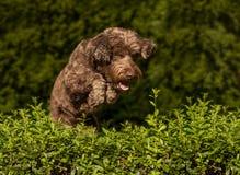 Der Hund springend über die Hecke stockfoto