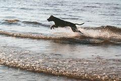 Der Hund springend über die Wellen stockfotos
