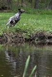 Der Hund springend in den Fluss Lizenzfreies Stockfoto