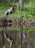 Der Hund springend in den Fluss Lizenzfreie Stockfotografie