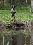 Der Hund springend in Fluss Stockfotos