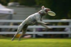 Der Hund springend für Frisbee Lizenzfreie Stockfotografie