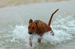 Der Hund springend in Wasser Stockfotos