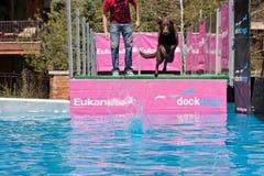 Der Hund springend in Wasser Lizenzfreie Stockfotografie