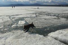 Der Hund springt von den Löwen zum Eis während des Eisgangs auf dem See lizenzfreies stockbild