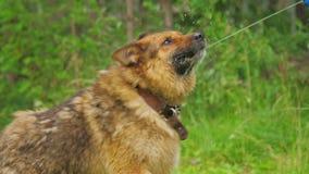 Der Hund trinkt Wasser von einem Wasserwerfer stock footage