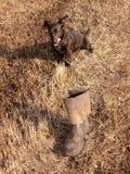 Der Hund und geworfen den Stiefeln Stockbilder
