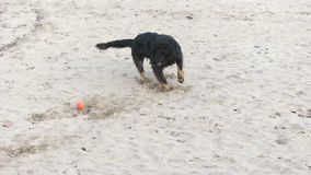 Der Hund wird mit dem Ball gespielt stock video