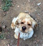 Der Hunde- Blick der Liebe, der Loyalität und der Sehnsucht Stockfotos