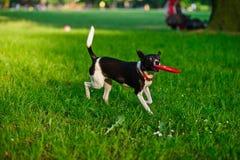 Der Hundebären Frisbee in einem Mund Stockfotos