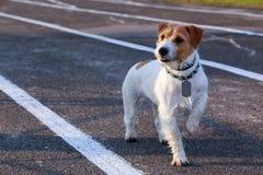 Der Hunderasse Jack Russell-Terrier stockbild
