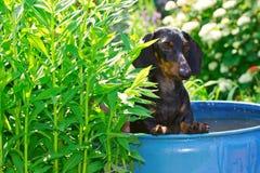 Der Hunderassedachshund, der in einem Fass mit Wasser sitzt Stockbilder