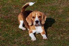 Der Hunderassespürhund stockfotos
