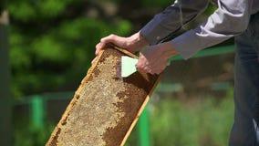 Der Imker öffnet die Bienenwabe Säubert die Honigzelle stock video